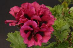 Dubbonet - regal geranium - 2010 collection