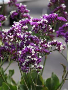 Limonium 'Salt Lake' - Lamsoor, zeelavendel Green Garden, Tatoos, Salt, Flowers, Gardening, Beautiful Flowers, Bonito, Plants, Nature