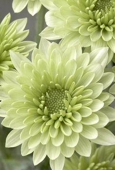 Mums (Chrysanthemum)