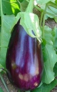 Eggplant. Benefits of Eggplant. Characteristics of Eggplant. Scientific name. Identification, characteristics, origin, content and active ingredients. Medicinal properties attributed. Benefits and uses of Eggplant. Preparation and dosage. http://www.medicinalplants-pharmacognosy.com/herbs-medicinal-plants/eggplant/