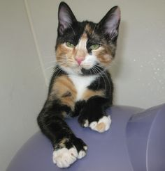 I wonder what kind of personality a polydactyl calico would have. Too much diva and sweetness all rolled in one!