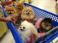 The Shopping Cart Full of Poms No way could I ever take me 5 schnauzers into a store all together!