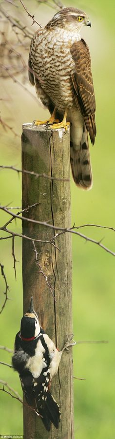 Terrified woodpecker hides from a Sparrowhawk that it had just escaped from and lived to see another day