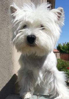 West Highland White Terrier #Dogs #Westie