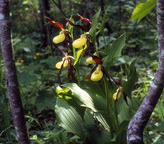 Vrouwenschoentje | Cypripedium Calceolus | Gelber Frauenschuh * Gesäuse National Park