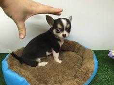 Chihuahua macho de un palmito