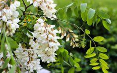 Salcâmul face parte din categoria florilor cu proprietăți aromatice și terapeutice. O simplă plimbare pe sub salcâmi înfloriți ne poate aduce o stare de bine.