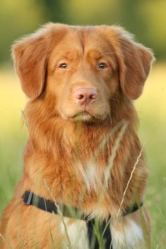 Nova Scotia Duck Tolling Retriever Dogs