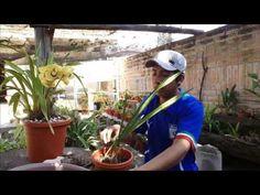 Clínica de Orquídeas #2: Cymbidium sin raíces y con bulbos secos - YouTube