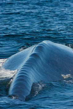 the mighty spine of a Blue Whale (Balaenoptera musculus)........largest mammal ever, they are 98 feet long and weigh 200 tons