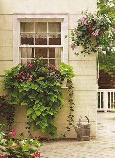 Window boxes are a form of container gardening to fill up wall space. This one appears to have draping sweet potato vine adding fullness and color.