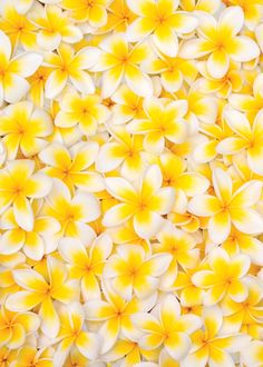 Flowers of Frangipani [Plumeria] Yellow Flowers, Beautiful Flowers, Yellow Flower Wallpaper, Rainbow Flowers, High School Makeup, Colour Board, Shades Of Yellow, Makeup Routine, Happy Colors