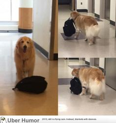 Meet Eddie, the Hospital Therapy Dog who is always carrying around his bookbag of toys and can always be found in the Pediatric Intensive Care Unit | Funny Pictures, Quotes, Pics, Photos, Images. Videos of Really Very Cute animals.