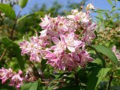 Niedriger Sternchenstrauch / Niedriger Maiblumenstrauch - Deutzia rosea