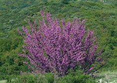 "Cercis occidentalis ""Western Redbud"""