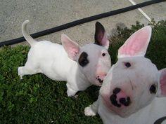 <3 Bull Terrier