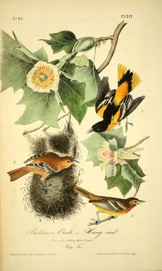 The birds of America : from drawings made in the United States and their territories by Audubon, John James, 1785-1851, Bowen, John T., ca 1-01-1 , lithographer - Biodiversity Heritage Library