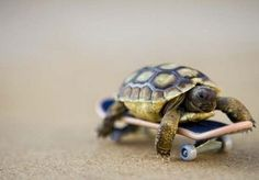skateboard turtle. totally getting one for Squirt now...