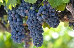 Why You Should Eat MoreGrapes! - Dr Weil's Daily Health Tips - Natural Health Information