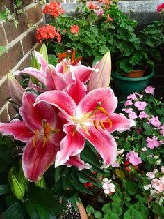 Stargazer Lilies have for thousands of years been used as symbols of purity. In Greek and Roman mythology, they represent chastity and virtue. The Stargazer Lily is a hybrid which is light, bold, bright and heady at the same time.