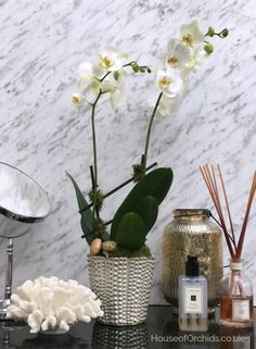 Marina - White Phalaenopsis from the House of Orchids London