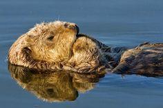 Eu Quero Biologia: Mães lontras-marinhas morrem cuidando de seus filh...