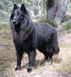 Belgian Shepherd Dog (Groenendael) Berger Malinois, Belgian Malinois Dog, Guard Dog Breeds, Dog Breeds List, Belgian Shepherd, German Shepherd Dogs, Blue Merle, Collie, Real Dog
