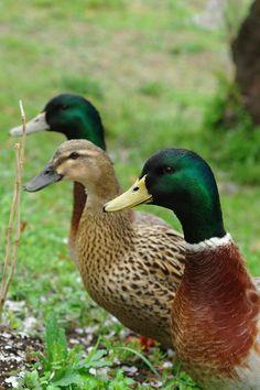 Patos. O pato é também uma ave de capoeira.