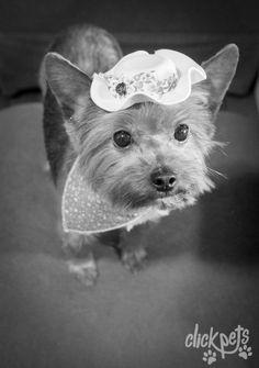 Modelo Pet: Gaia - Raça: Yorkshire   Click Pets - Fotografia de Animais   Visite nosso site! www.fotografiadeanimais.com.br     #ClickPets #FotografiadeAnimais #fotografiapet #Yorkie #YorkshireTerrier #Pet #Brasil #Curitiba