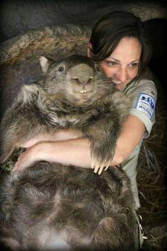 cute-wombat-big-marsupial-Australia