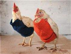 Hens who have been neglected or abused lose their feathers because of the stress. And these little sweaters help keep them warm until their feathers grow back. If you visit Little Hen Rescue, you'll find a pattern for knitting sweaters for chickens.