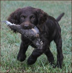 Boykin | And Adult Boykin Spaniels For Sale