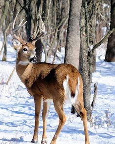GardenSMART Article ź Repelling deer from trees Beautiful Creatures, Animals Beautiful, Whitetail Deer Pictures, Deer Repellant, Amazing Animal Pictures, Baby Animals, Cute Animals, Big Deer, Hunting Pictures