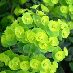 The 28 best gorgeous greens green plants images on pinterest euphorbia amygdaloides var robbiae 2l mightylinksfo
