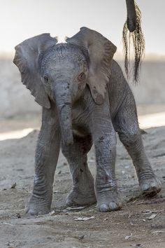 Elephant Calf at the San Diego Zoo