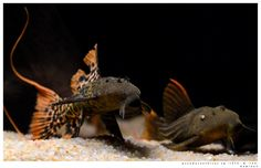 Responsible Care for Freshwater Fish Aquarium Aquarium Catfish, Cichlid Aquarium, Aquarium Pump, Cichlid Fish, Fish Aquariums, Tropical Fish Aquarium, Freshwater Aquarium Fish, Community Fish Tank, Plecostomus