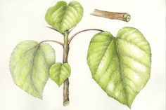 Wauke/Paper Mulberry. Broussonetia papyrifera. These illustrations by Wendy Hollender appear on signage at the National Tropical Botanical Garden on Kauai to illustrate the canoe plants in their gardens.