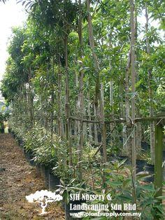 T030102Xanthostemon Chrysanthus(Jambu Kuning)
