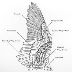 owl wing anatomy - Google Search