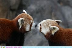 never too many red pandas