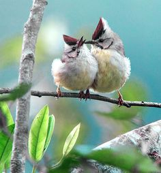 65 x 60 cm  Dear Flickr friends, you are very welcome to hear  some of my piano composition .  冠羽畫眉.攝於 台灣 桃園縣 拉拉山 Taiwan Yuhina, taken…