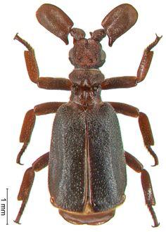 Paussus (Manicanopaussus) liber Wasmann, 1899