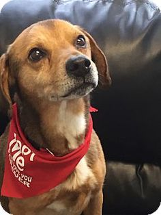 Oak Ridge, NJ - Second Chance Pet Adoption League, Beagle/Golden Retriever Mix. Meet Joshua, a dog for adoption. http://www.adoptapet.com/pet/12705354-oak-ridge-new-jersey-beagle-mix