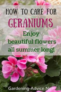 - Growing Geraniums Outdoors Or Indoors Good Geranium Care is vital for long-lasting summer color of this popular bedding plant. Gardening tips on how to care for Geraniums.Good Geranium Care is vital for long-lasting summer color of this popular bedding Growing Geraniums, Geraniums Garden, Growing Flowers, Planting Flowers, Flowering Plants, Growing Plants, Flower Gardening, Caring For Geraniums, Potted Plants