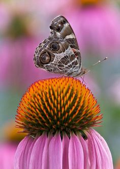 American Painted Lady Butterfly Photograph