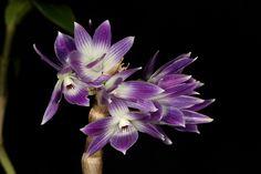 Dendrobium victoriae-reginae - Flickr - Photo Sharing!