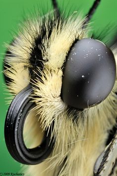 εїз⁀°•.ᗷᘎʈʈᏋᖇƑԼϓ.•°⁀εїзFull frame of the swallowtail (Papilio machaon) head. Here you can clearly see how its compound eyes and proboscis look like...