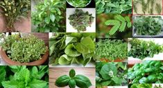 7 Vital Herbs From The Herbalist's Garden Natural Asthma Remedies, Savage Garden, Addicted To You, Natural Disasters, Wedding Designs, Wedding Flowers, How Are You Feeling, Herbs, Nature