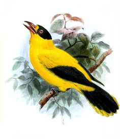 Category:Bird illustrations by Joseph Wolf - Wikimedia Commons
