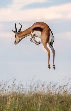 African springbok | TravlGusto.com
